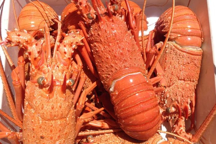 Lobster asal Australia sekarang tertahan di bandara di tengah meningkatnya perseteruan dagang antara Australia dan China.
