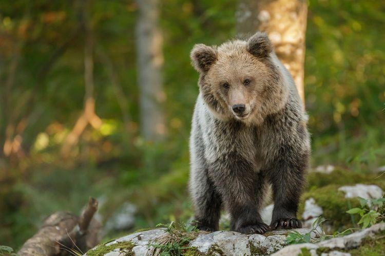 Seekor beruang cokelat terlihat di hutan Slovenia.