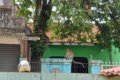 Gedung Sekolah Kosong di Tangerang Jadi Sarang Kawanan Monyet, Pemkab Gandeng BKSDA untuk Evakuasi