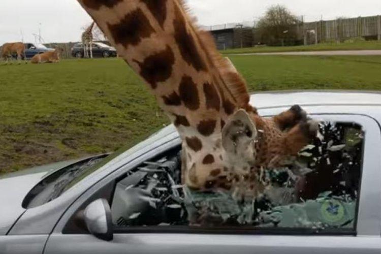 Kepala jerapah masuk ke mobil melalui jendela. Penumpang yang panik berusaha menutup jendela, namun malah pecah berkeping-keping. (The Sun)