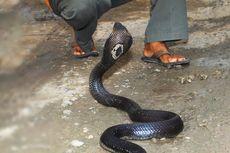 Teror 17 Ular Kobra di Kamar dan Ruang Tamu Pondok Pesantren di Tasikmalaya