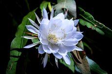 7 Manfaat Bunga Wijaya Kusuma untuk Kesehatan, Obati TBC hingga Asma