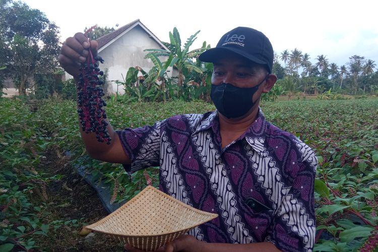 Seorang petani asal Desa Kembiritan, Kecamatan Genteng, Banyuwangi, Jawa Timur, bernama Hadi Wintoro sedang membudidayakan ginseng merah.