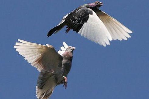 Alasan Merpati Mau Terbang Berkelompok, meski Lebih Melelahkan