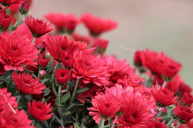 Ilustrasi bunga krisan merah.