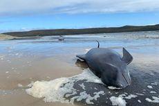 Paus Pilot Terdampar Massal di Lepas Pantai Tasmania, Apakah Penyebabnya?