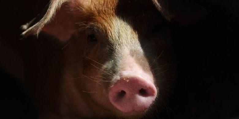 Gejala klinis yang ada dan hasil uji laboratorium mengarah ke flu babi tetapi ada juga hasil uji sampel yang positif menunjukan kolera babi.