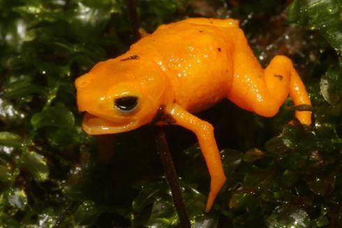 Spesies Baru Katak Labu, Bisa Bersinar di Bawah Sinar UV dan Beracun