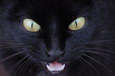 Mengapa Mata Kucing Menyala Saat Gelap?