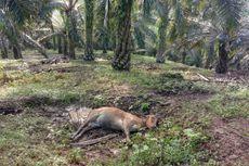 Fakta Harimau Mangsa Lembu Milik Warga, 11 Ekor Mati dengan Luka Gigitan di Leher