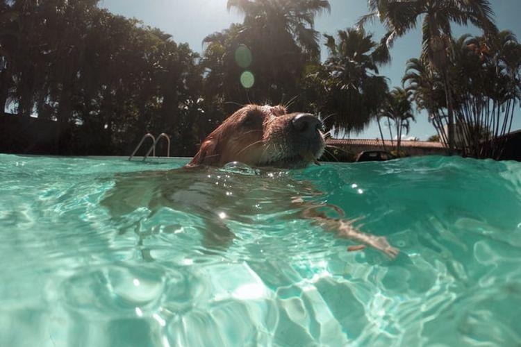 Ilustrasi anjing berenang
