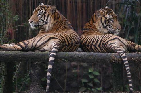 Harimau Sumatera, Pesan Kematian dari Sorot Mata Sang Datuk