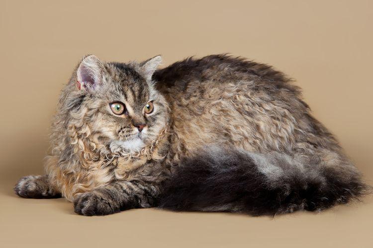 Ilustrasi kucing ras Selkirk Rex.