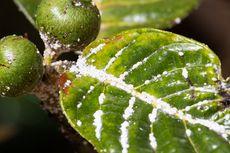 Pestisida Organik untuk Membasmi Hama Kutu Putih Pada Tanaman