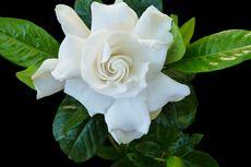 Daun Bunga Kacapiring Menguning? Tangani dengan Larutan Cuka