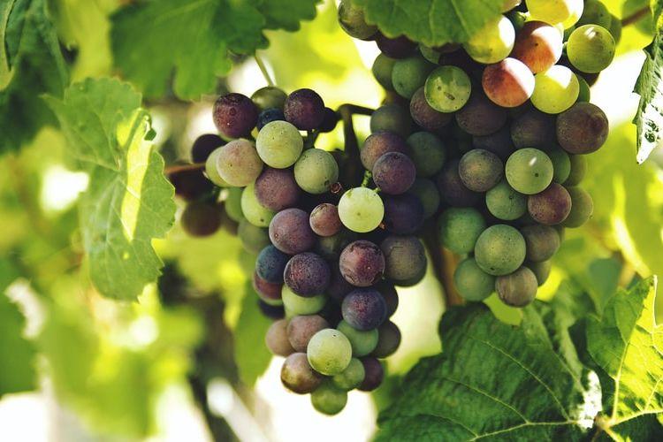 Ilustrasi tanaman anggur