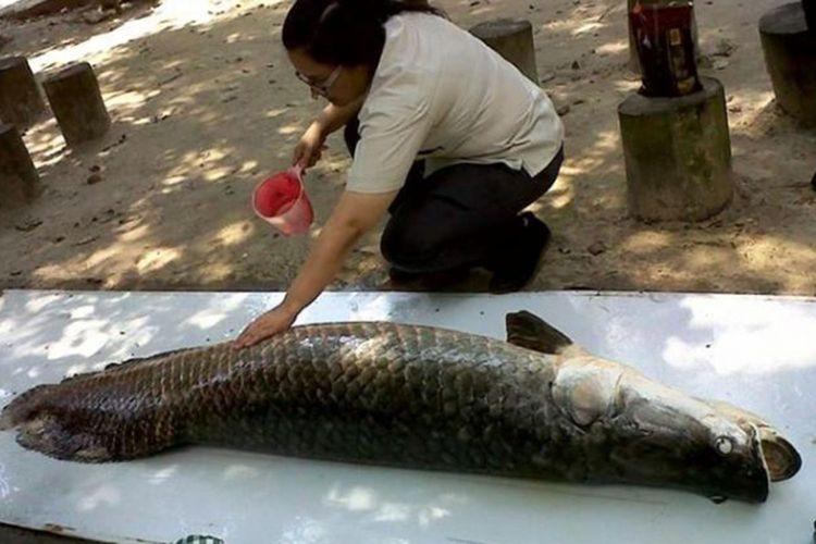 Salah satu ikan Arapaima yang ada di Kawasan Hutan Mata Kucing Kota Batam yang tewas beberapa waktu lalu. Ikan asal sungai Amazon, Brasil, ini sudah lebih kurang 14 tahun berada di kawasan wisata tersebut.