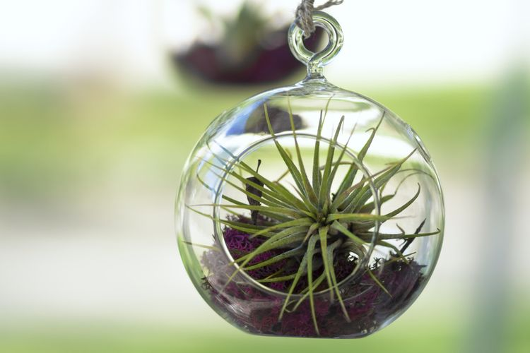 Ilustrasi tanaman hias air plant atau Tillandsia.