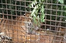 Harimau Pemangsa Manusia di Muara Enim Bakal Dilepas ke Habitat Semula