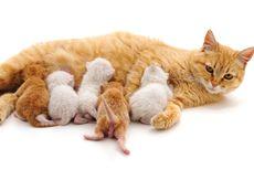 Apakah Induk Kucing Merindukan Anaknya?