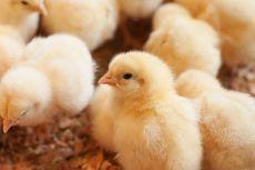 Tak Ada Pakan Saat Covid-19, Ratusan Ribu Anak Ayam Dikubur Hidup-hidup di Iran