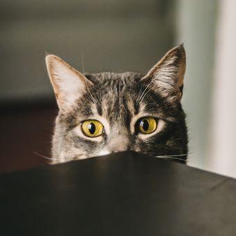Ilustrasi kucing Manx