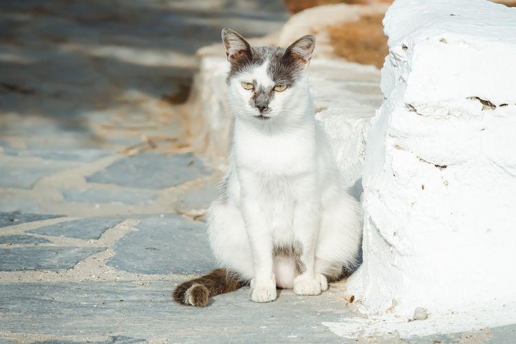 Ilustrasi kucing aegean