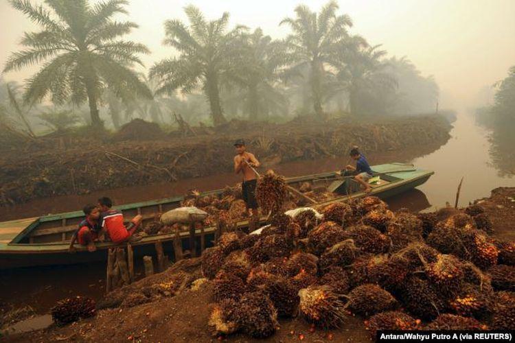 Seorang pekerja menurunkan buah kelapa sawit di perkebunan kelapa sawit di Gambut Jaya, Provinsi Jambi.