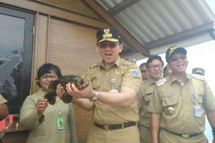 Gubernur DKI Jakarta Basuki Tjahaja Purnama memanen ikan kerapu di perairan Kepulauan Seribu, Selasa (26/9/2016).