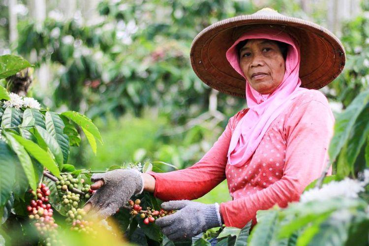 Salah satu petani kopi di perkebunan Kawisari siap memanen biji kopi