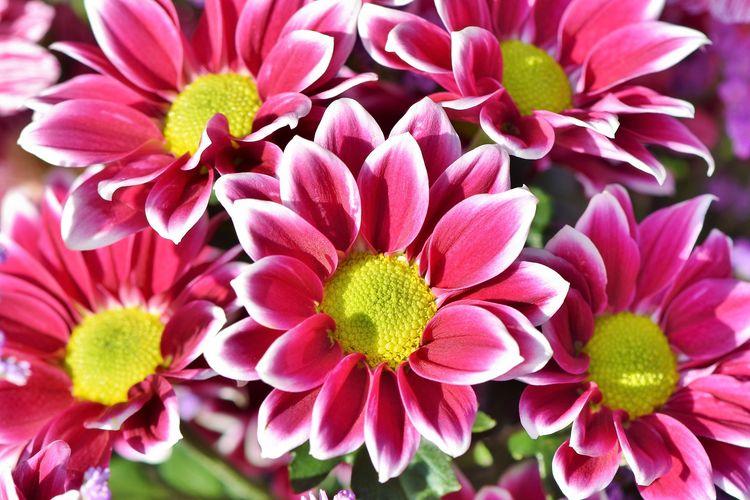 Ilustrasi bunga Aster.