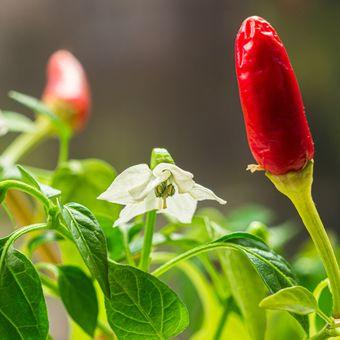Ilustrasi tanaman cabai, bunga cabai.
