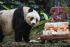 Panda Tak Lagi Terancam Punah, tetapi Tetap Rentan