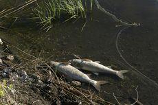 Ribuan Ikan di Sebuah Sungai di Australia Mati