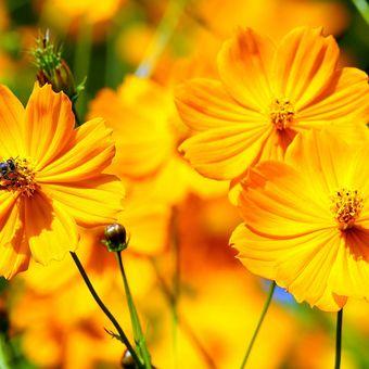 Ilustrasi bunga kenikir.