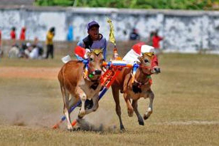 Seleksi karapan sapi sistem rekeng di Kabupaten Pamekasan, tetap dilanjutkan meskipun mendapat tentangan dari Bakorwil IV Pamekasan.