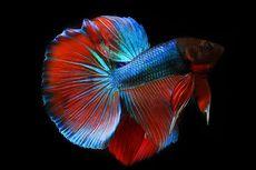 Kapan Daun Ketapang Perlu Diberikan untuk Air  Ikan Cupang?