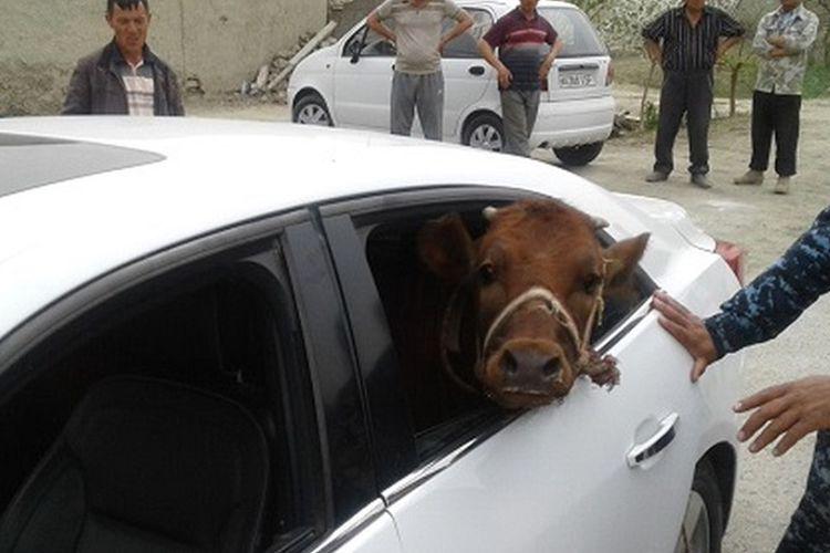 Polisi menemukan seekor anak sapi curian yang ditaruh di kursi penumpang sebuah sedan Chevrolet Malibu.