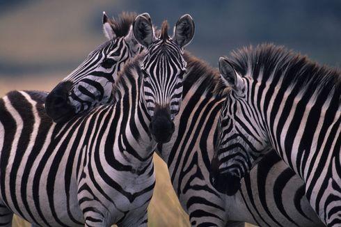Benarkah Garis Hitam-Putih Bikin Zebra Tetap Dingin? Ini Kata Peneliti