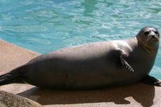 Demi Selamatkan Populasi Ikan Trout, 4 Singa Laut Terpaksa Dibunuh