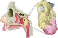 Ilmuwan Belanda Menemukan Organ Baru di Dalam Kepala Manusia, Apa Itu?