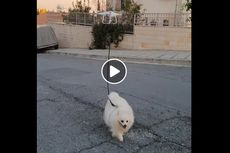 Lockdown, Seorang Pria Gunakan Drone untuk Memandu Anjingnya Jalan-jalan