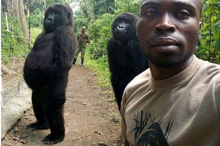 Beginilah gaya dua gorila ini bersama seorang penjaga taman nasional Virunga, RD Kongo.