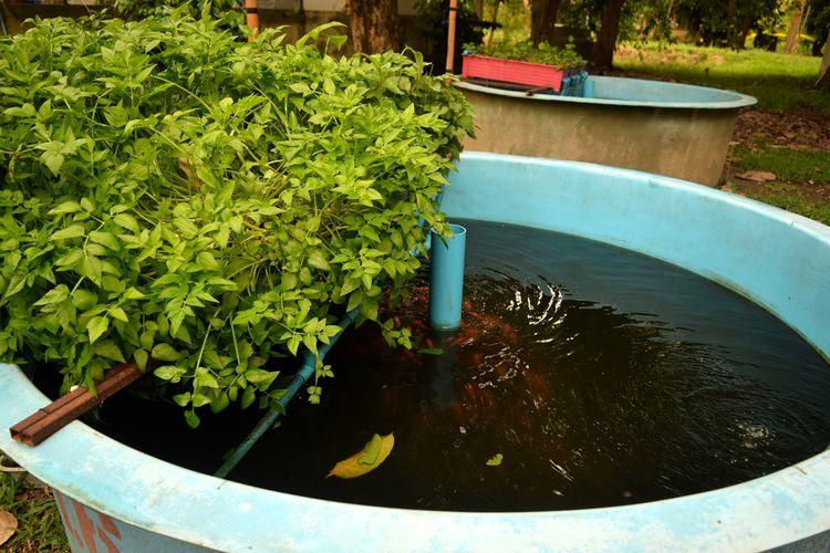 Ilustrasi sistem menanam tanaman dengan aquaponik.