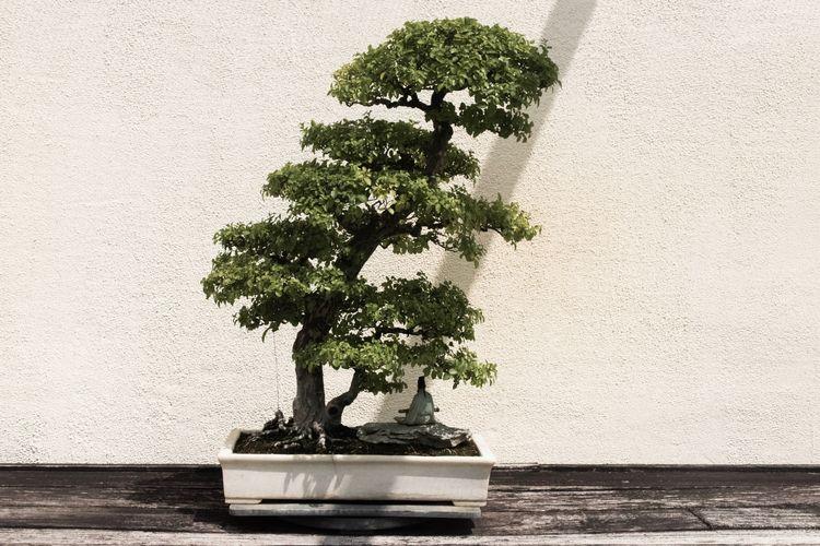 Tanaman bonsai.