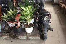 Cerita Maling Gondol 27 Tanaman Aglonema Senilai Rp 100 Juta, Diangkut dengan Sepeda Motor