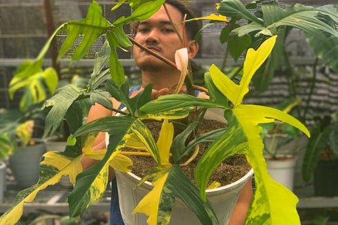 Cerita Unik, Bunga Keladi Setara Avanza, Tersesat di Hutan gara-gara Tanaman