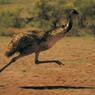 The Great Emu War: Kekalahan Manusia dari Burung Emu