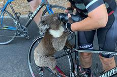 Kehausan, Koala di Australia Minta Minum kepada Pesepeda