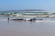 270 Paus Pilot Terdampar di Australia, Terbanyak dalam 10 Tahun Terakhir